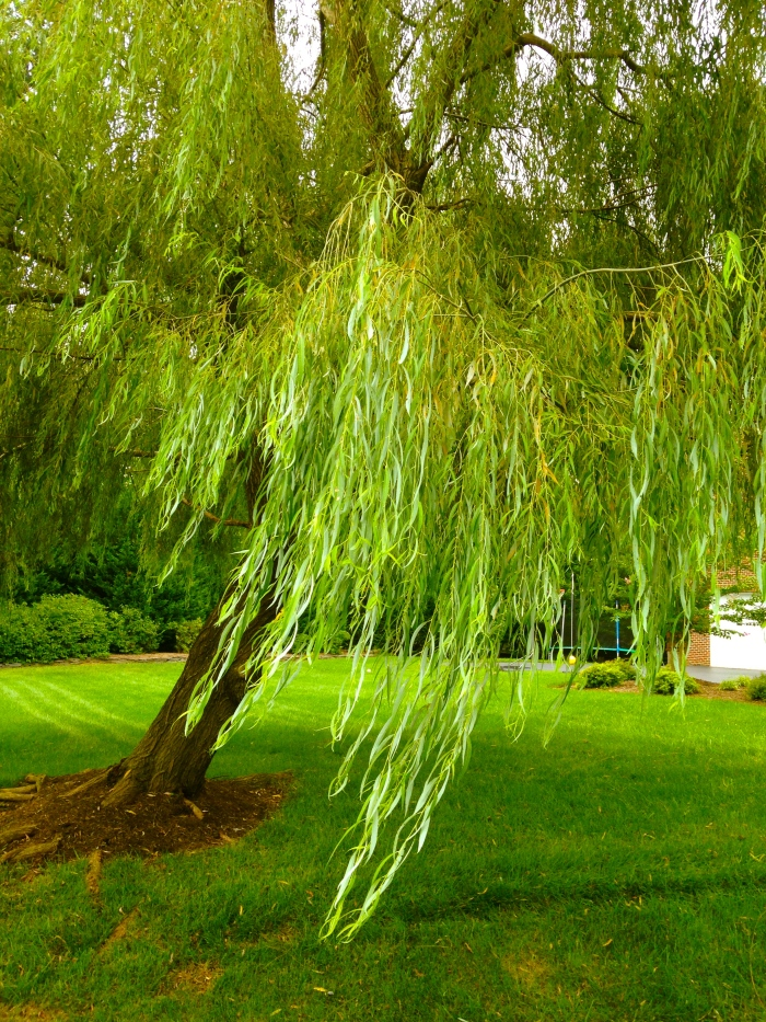 the weeping willow blowing in the breeze