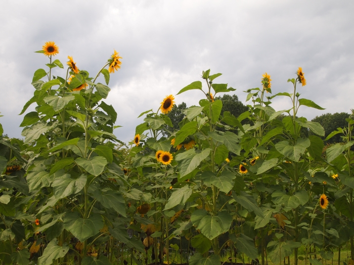 Sunflowers around Lake Gardiner