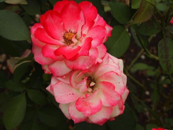 Louise Cochrane Rose Garden