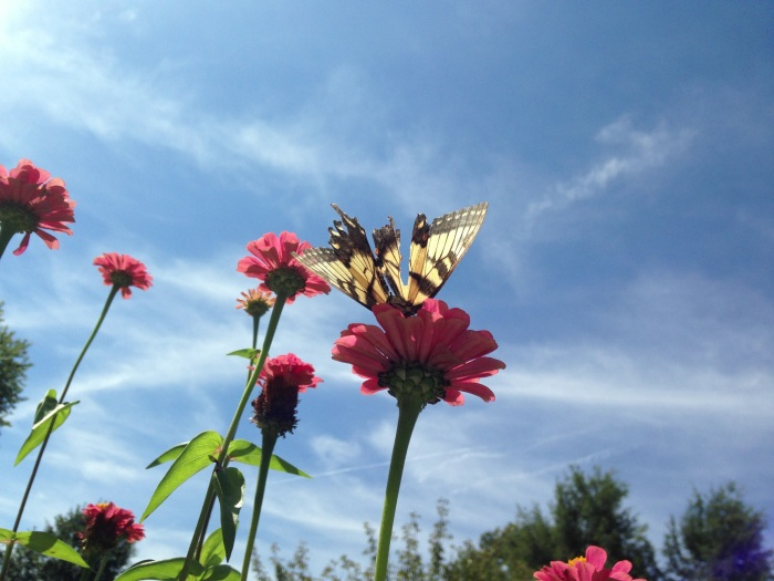 butterfly on rudbeckia with wisps of clouds