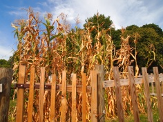 cornfield and fences at Sky Meadows, Virginia
