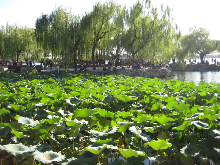 Infinite lotus blossoms at the Summer Palace in Beijing