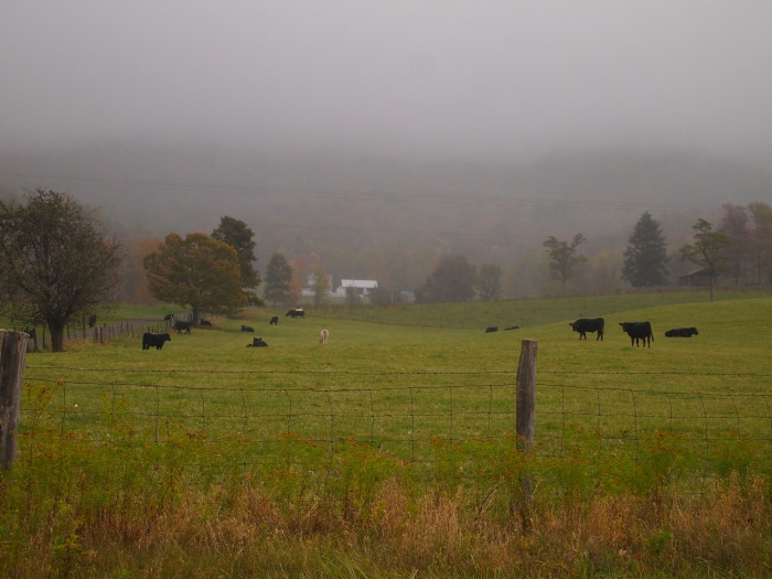 cows in the pastures on a foggy day