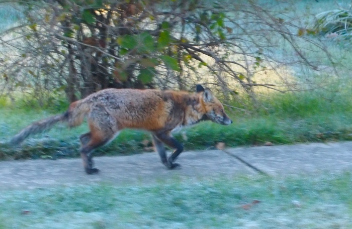 a little fox trotting through a northern Virginia neighborhood
