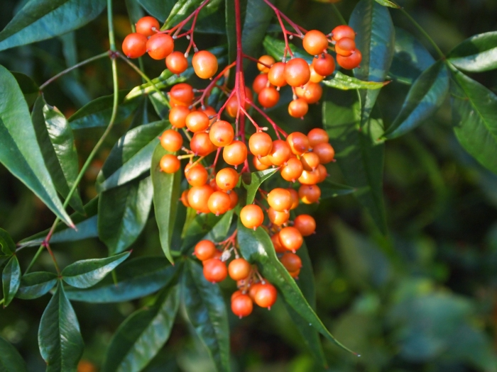 a berry bush