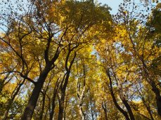 golden canopy