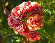 Tea roses in Toledo