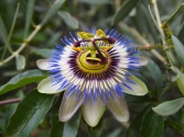 passion flower in Marianne's garden