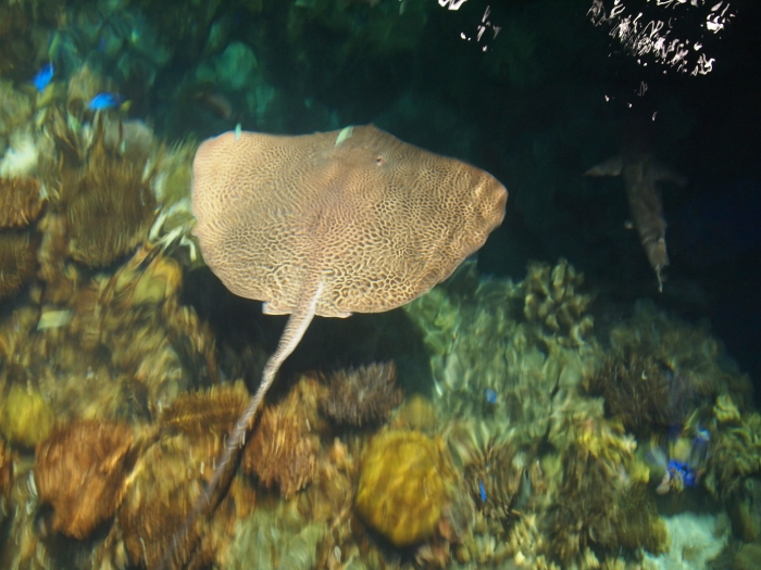 Honeycomb Stingray in Blacktip Reef