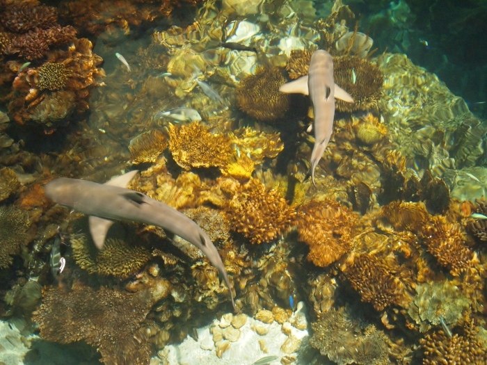 sharks in Blacktip Reef