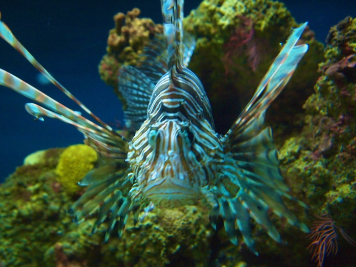 Red Lionfish, properly known as Pterois volitans