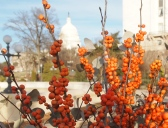views of the U.S. Capitol through orange berries