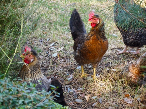 the chickens who lay eggs for breakfast