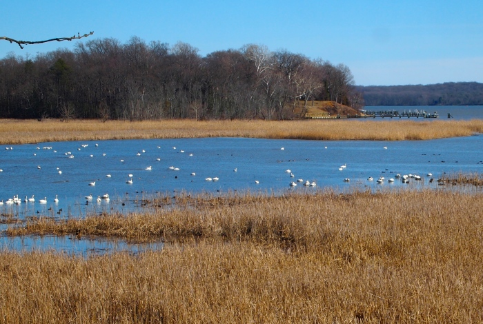 Tundra Swans at Elizabeth Hartwell Mason Neck National Wildlife Refuge