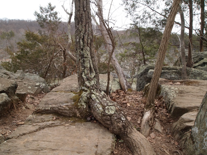 tree growing from rocks