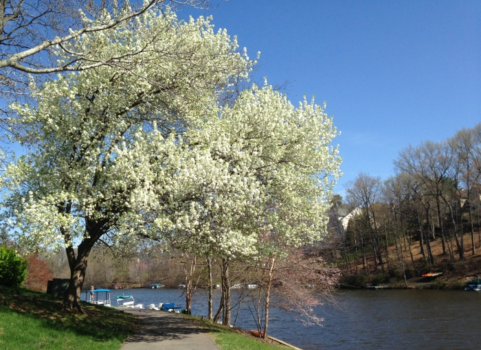 Cherry blossoms at Lake Audubon