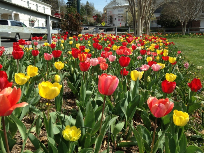 Tulips at Vienna Town Green