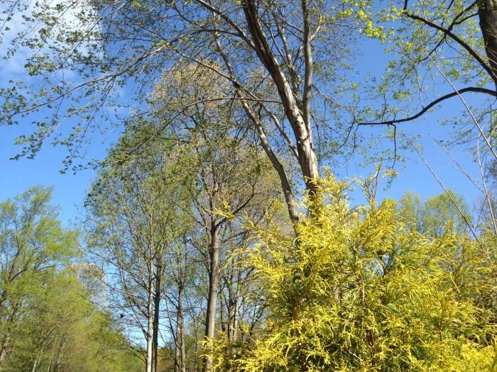 Oakton trees