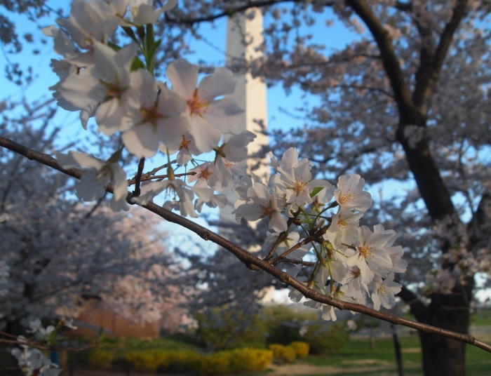 a peek through the blossoms at the Washington Monument
