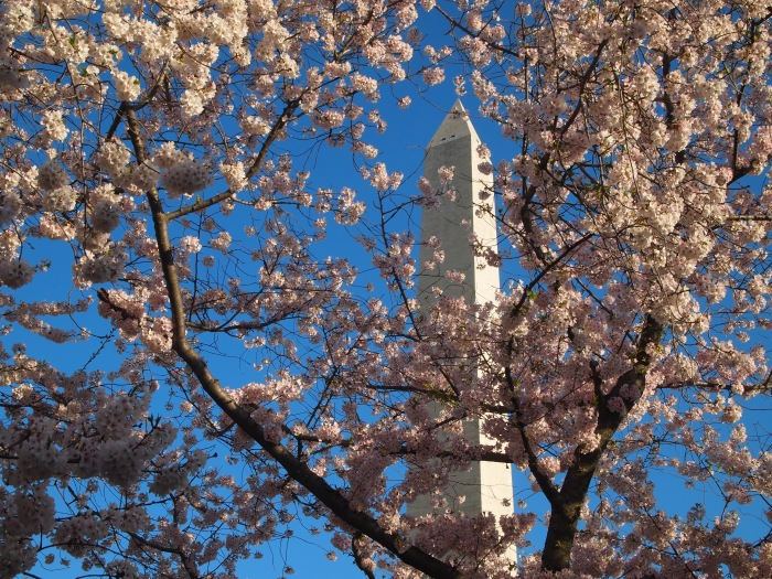 Washington Monument & blossoms