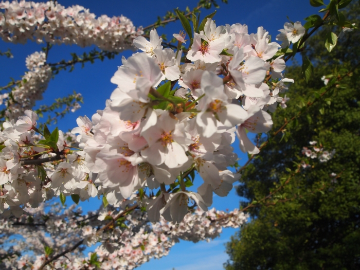 Cherry blossoms - quite cheery, don't you think?
