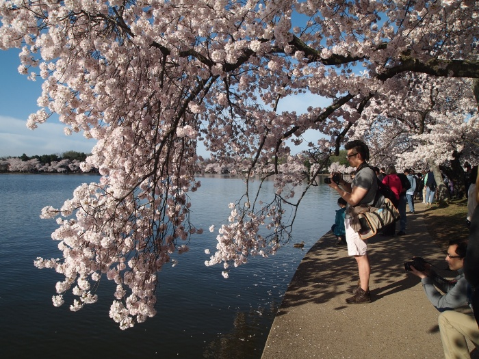 Cherry blossoms around the Tidal Basin
