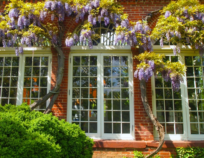 the Orangery and its wisteria