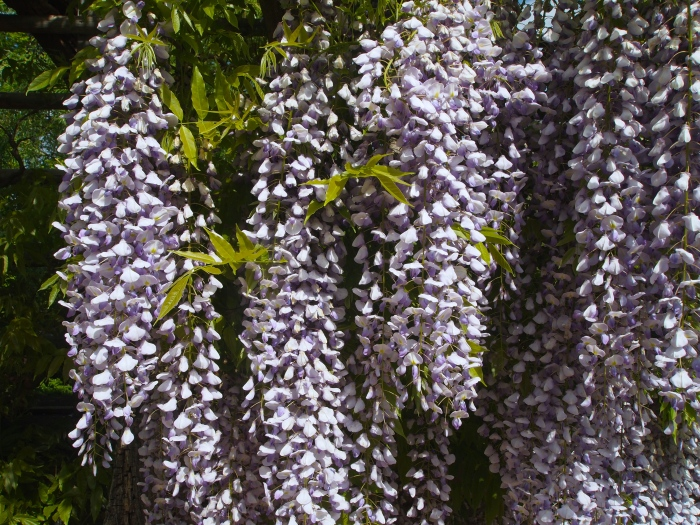 wisteria along the Pebble Garden