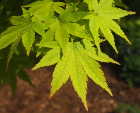chartreuse leaves