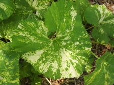 mottled leaves