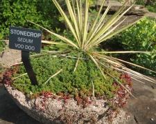 Stone crop - VOO DOO