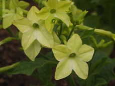yellow pretties ~ Nicotiana