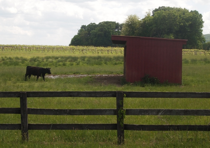 a lone cow on the farm