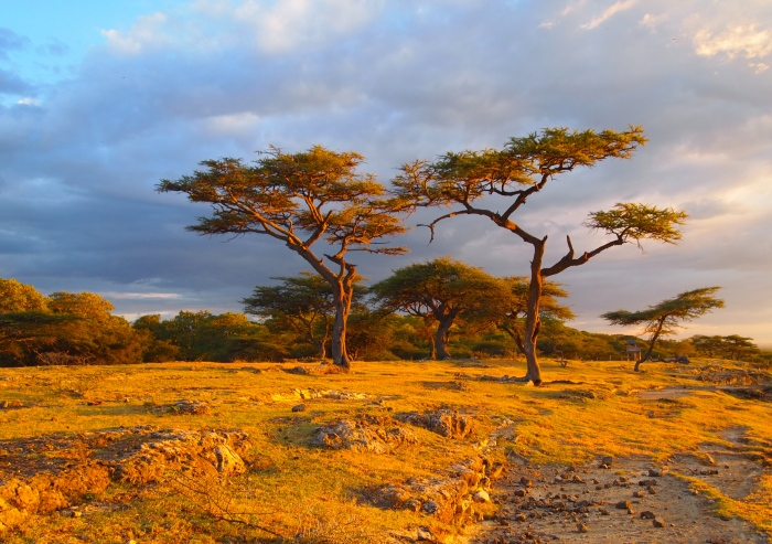 Acacia trees at Lake Langano