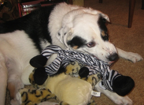Bailey and his Christmas stuffed animals