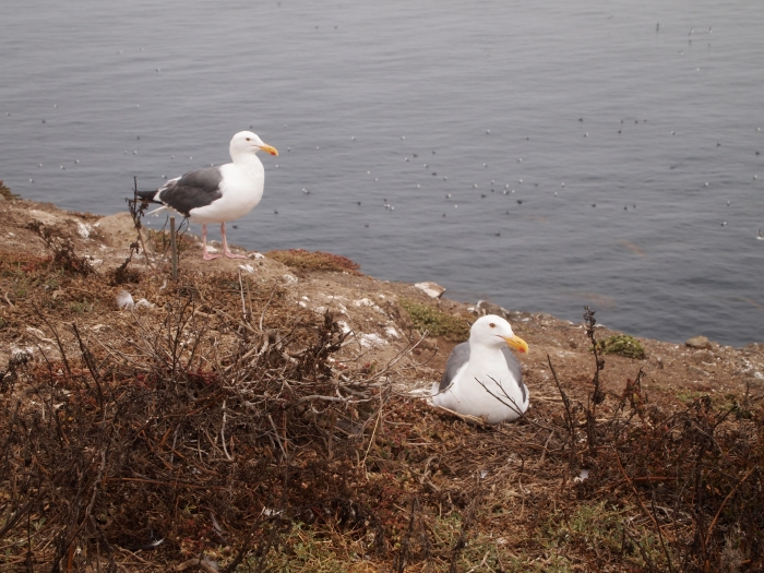 seagulls of Anacapa