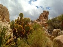Cacti in Hidden Valley