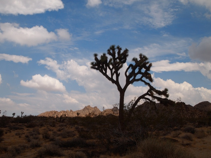 Joshua Tree before the storm
