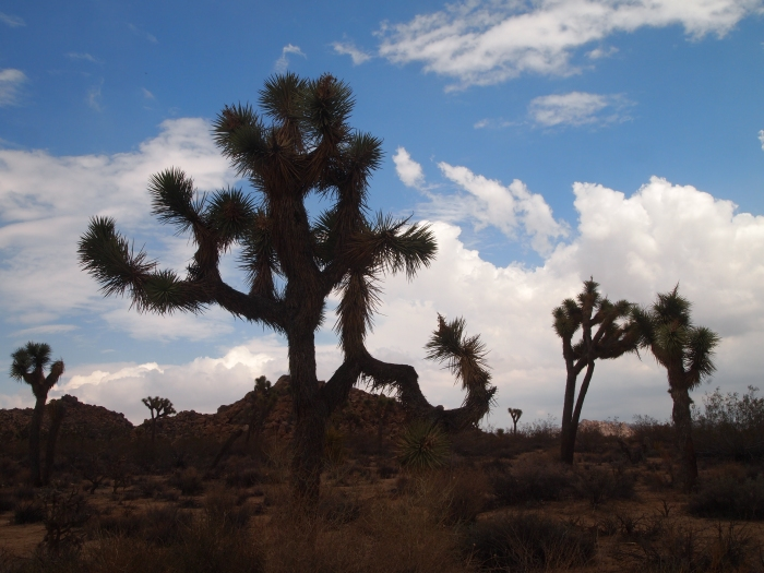 the Joshua Trees of the desert