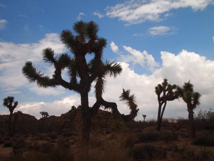 the Joshua Trees of the desert