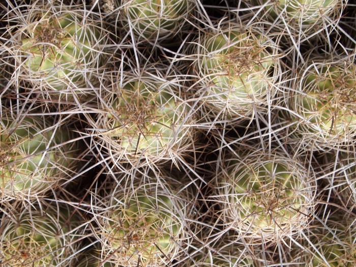 prickly cacti