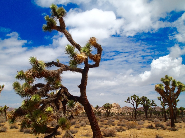gnarly Joshua Trees