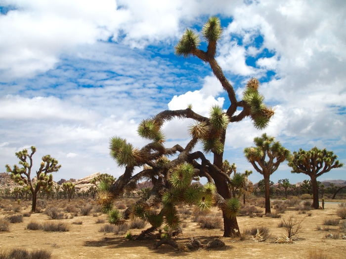 a Joshua Tree with character