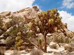 Joshua Tree in Hidden Valley