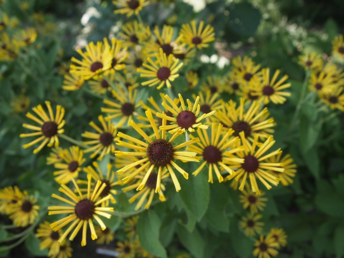 varieties of rudbeckia