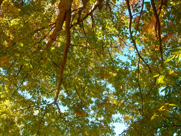 canopy of leaves