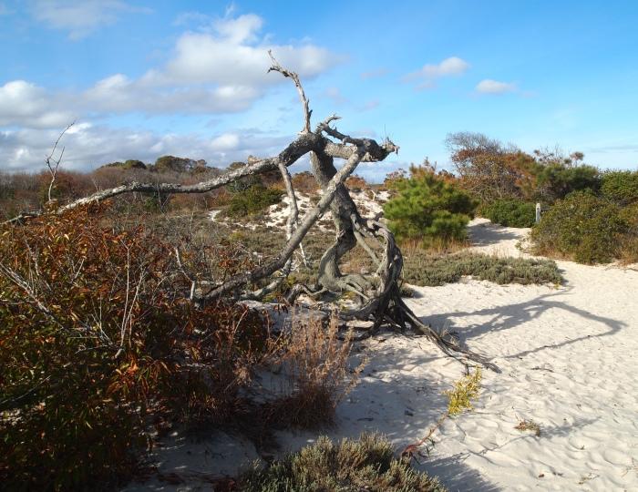 driftwood on the Dunes walk