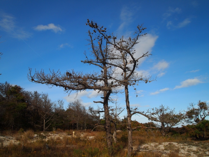 gnarly trees on the Dunes Walk