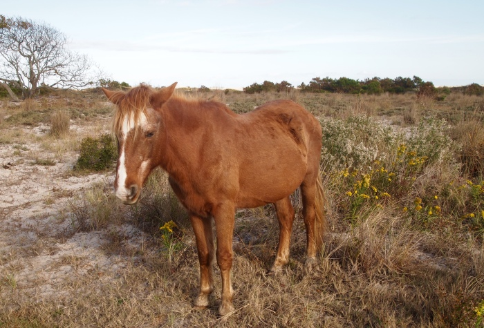 one of the wild ponies of Assateague