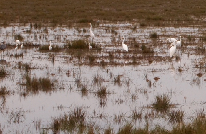 egrets at Black Duck Pool